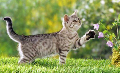 смугастий кіт